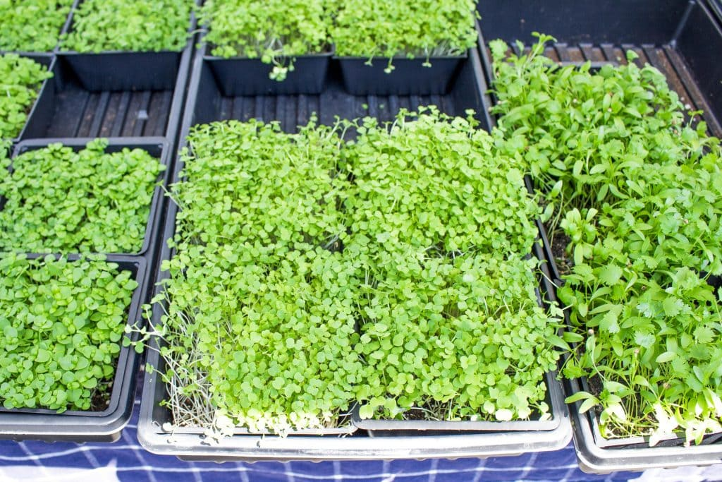 Micro greens for sale at the Ogden Farmer's Market