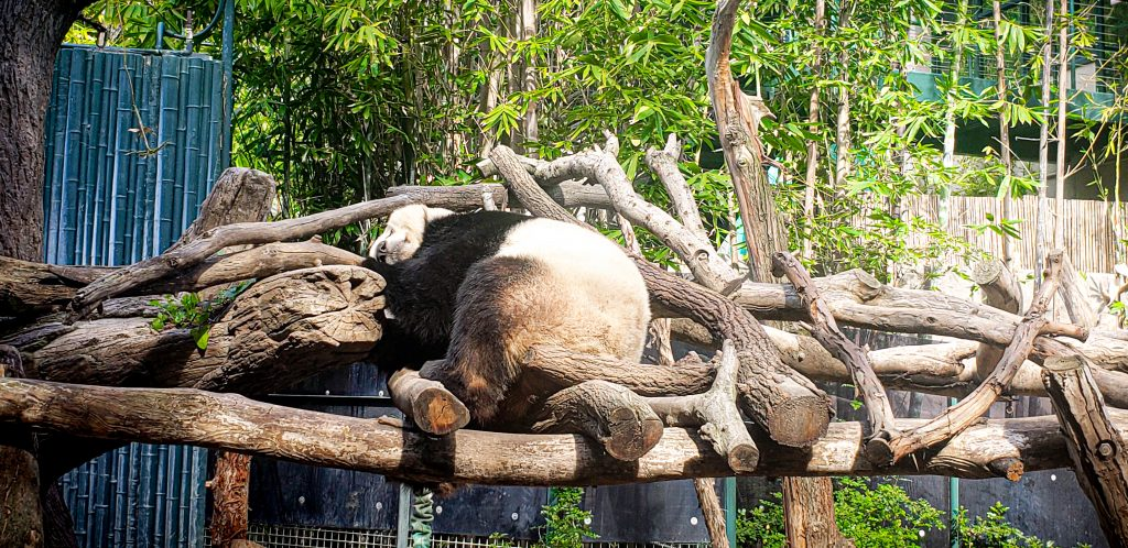 Panda Bear at San Diego Zoo